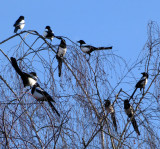 Magpies' convention....