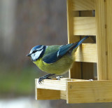 Regular client of our bird snack bar...