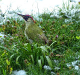 Green woodpecker in the spring snow....