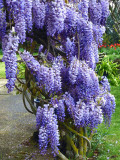 The return of wisteria season...