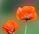 Poppies of late May