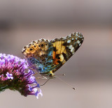 Afternoon butterfly 3