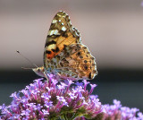 Afternoon butterfly 2