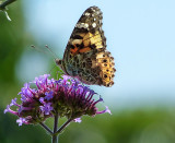 Afternoon butterfly 1