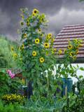 Sunflowers in the rain...