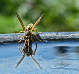 Thirsty wasp...