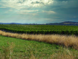 The vineyards in the wind...