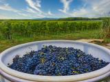 Grape harvest...