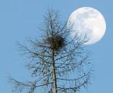 The magpie's nest.