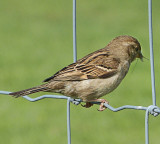 There are no vegan sparrows.