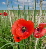 The season of poppies is back...