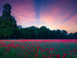 In the poppies field at sunrise...