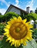 Domestic sunflower...