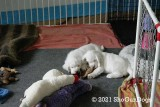 Jolene 2 Litter Week 11 Page(s) 4-5 Updated 5/6/21