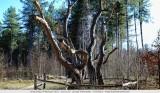 Achtzalighedenboom - Lille