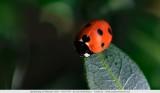 Coccinella - Ladybird - Mariakever