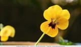 Pansy flower - Tuinviooltje