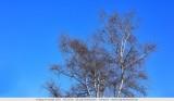 Deepblue sky and birch tree