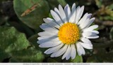 Bellis perennis - Daisy - Madeliefje