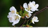 Cherry blossom - Kersenbloesems
