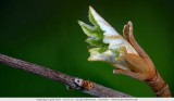 Bud of a panicle hydrangea - Knop van een pluimhortensia