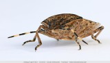 Brown marmorated stink bug - Grauwe schildwants