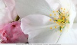 Japanse sierkers - Prunus serrulata 'Sunset Boulevard'