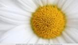 Tuinmargriet - Argyranthemum frutescens