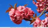 Japanse sierkers - Prunus serrulata