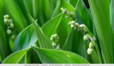 May 1 today: the May Bells are not yet fully grown