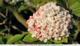 Viburnum Carlcephalum - Sneeuwbal