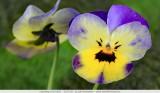 Viola tricolor - Beautiful colors