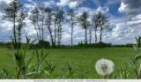 Dandelion seedhead - Paardenbloem