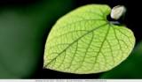 Beautiful structures. Small Aristolochia macrophylla leaf (< 2cm)