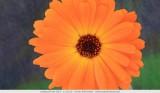 Prachtige goudsbloem (Calendula officinalis L)