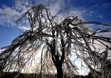 L'arbre surglacé