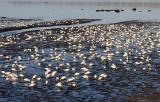 Les oies blanches sur les battures de l'Île