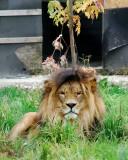 Le lion aux aguets