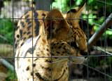 Serval en cage