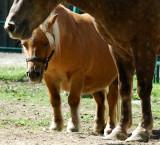 Le poney aux courtes pattes