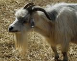 la chèvre aux cornes tordues