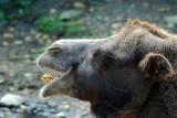 L'autre chameau