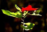 Belle tache rouge