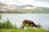 21st June 2019  deer by the loch