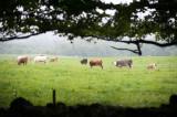 24th June 2019  cows in the rain