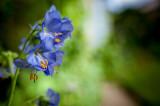 16th June 2020  blue flower
