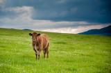 24th June 2020  calf