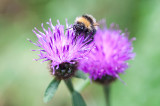 19th August 2020  bee on a thistle