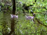 26th May 2021  ducks