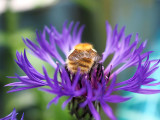 30th June 2021  bee on a purple thing